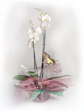 Planta orquídea modelo Sol