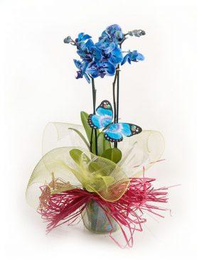 Planta orquídea modelo Cielo